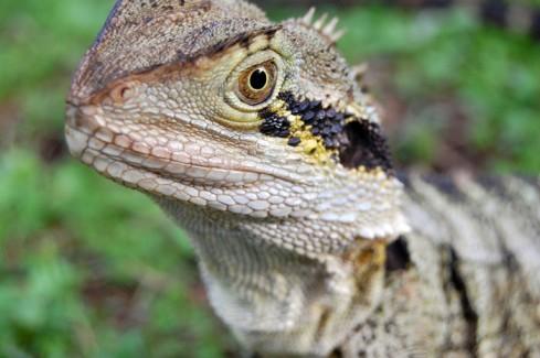 Australian lizard micro shot in Brisbane, Australia