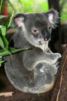 Koala in Brisbane, Australia