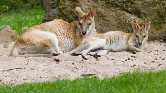 Two kangaroos resting in Brisbane