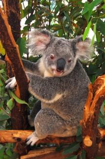 Koala on the tree in Brisbane, Australia